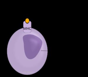 Eine körpereigene Zelle (Lila) mit einem MHC-Komplex ist dargestellt. Der MHC-Komplex präsentiert ein gelbes Antigen