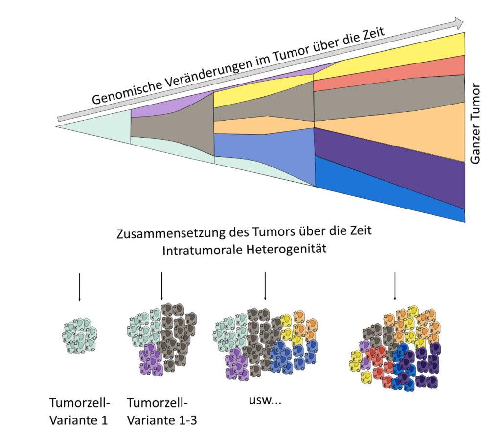 Das Bild zeigt beispielhaft die genomische Veraenderung in Tumoren über die Zeit und verdeutlicht damit den Begriff intratumorale Heterogenität.