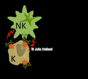 Antikörper-abhängige Zellvermittelte Zytotoxizität (Englisch: antibody-dependent cell-mediated cytotoxicity [ADCC]). Antikörper binden Antigene auf der Zelloberfläche von Fremdkörpern mit ihrer Antigenbindungsstelle. Das andere Ende des Antikörpers der Fc-Teil kann von dem Fc-Rezeptor (FcR) der NK-Zellen gebunden werden. Die Bindung aktiviert die NK-Zell-Funktionen, wodurch die NK-Zelle den Fremdkörper mit Hilfe zytotoxischer Moleküle in den Zell-Tod schickt.