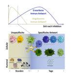 Angeborenes Versus Erworbenes Immunsystem