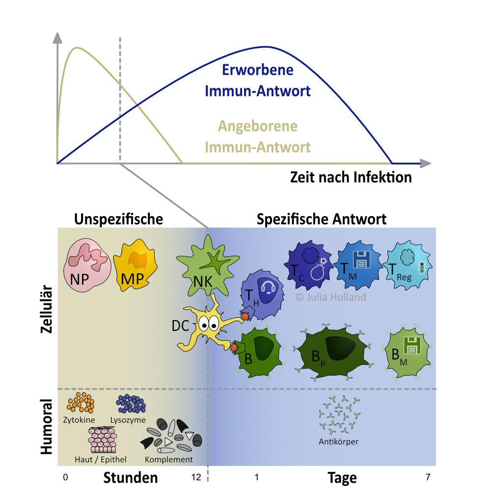 """Dargestellt wird das zeitlich verzögerte Einsetzen der angeborenen (nicht-adaptiven oder unspezifischen/generellen/natürlichen) versus der erworbenem (adaptiven oder spezifischen) Immunantwort. Die Abbildung gliedert ebenfalls die Humoralen und Zellulären Komponenten. Die humoralen Komponenten bestehen aus Zytokinen, Lysozymen, der Haut und dem Komplement System. Die Zellulären Komponenten setzen sich aus verschiedenen Immun-Zellen zusammen: die Neutrophilen (NP) Granulozyten, Makrophagen (MP), Dendritische Zellen (DC) und Natürliche Killerzellen (NK). Dabei muss gesagt werden, dass DCs und NKs ebenfalls zur erworbenen Immunantwort gezählt werden, weil sie viel mit den Zellen des erworbenen Immunsystems interagieren und dort essentielle Arbeit leisten. Die erworbene Immunantwort übernimmt meist nach 12-16h und versucht spezifisch die Fremdkörper zu bekämpfen. Die Zellulären Komponenten des erworbenen Immunsystems sind: Die B- und T-Zellen; Helfer T-Zellen (TH), Cytotoxischen T-Zellen (TC); T-Gedächtnis-Zellen (TM; das M steht für """"memory"""" ist Englisch und heißt Gedächtnis); Regulatorische T-Zellen (TReg); B-Zellen (B); Plasma-B-Zellen (BP); und B-Gedächtnis-Zellen (BM). Die Humorale Komponente der erworbenen Immunantwort besteht aus Antikörpern, die von den Plasma-B-Zellen produziert werden."""
