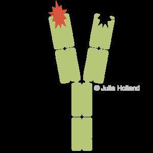 Ein Antikörper mit einer Y-förmigen Struktur ist dargestellt. Er hat an beiden oberen Enden Antigen-Binde-Stellen und am unteren Ende die Fc-Region