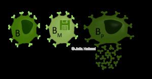 Die drei B-Zell-Typen (grüne Zellen) sind dargestellt, die B-Zelle (B) mit ihrem B-Zell-Rezeptor auf der Zelloberfläche, die Gedächtnis-B-Zelle (BM) und die Plasma-B-Zelle (BP), welche die Y-formigen Antikörper sezerniert.
