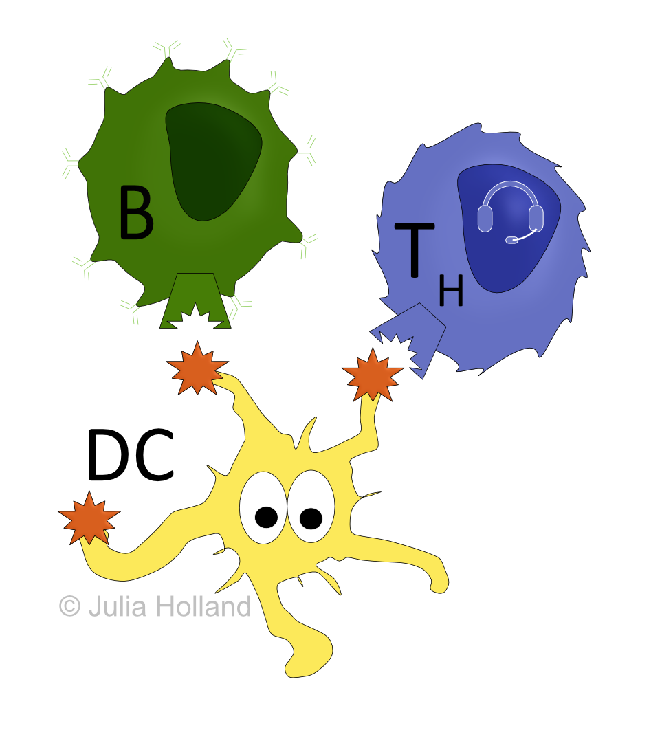antigenpräsentierende zellen