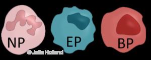 Dargestellt sind die drei Typen der Granulozyten: In rosa der Neutrophile (NP), in Türkise der Eosinophile (EP) und in rot der Basophile (BP) Granulozyt.