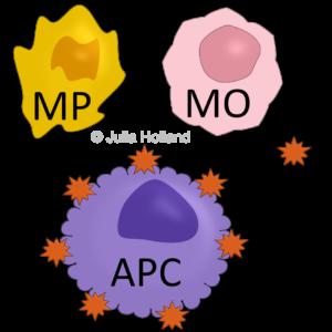 Dargestellt werden verschiedene Immun-Zell-Typen. Zum einen die Makrophage (MP), welche mit einem Fressmund versehen ist, da sie zu den Fresszellen gehört. Dann eine Monozyte (MO), so heißt die Makrophage bevor sie ins Gewebe vordringt und sich dort zur Makrophage spezialisiert. Darunter ist eine repräsentative Antigen-Präsentierende-Zelle (APC) abgebildet. Nach dem Makrophagen einen Fremdkörper phagozytiert (aufgefressen) haben, präsentieren sie die Antigene dieser Fremdkörper auf ihrer Zell-Oberfläche. Die Präsentation erfolgt mit Hilfe des MHC-Komplexes und viele Immunzellen, aber vor allem T- und B-Zellen informieren sich bei APCs welche Fremdkörper im Organismus gefunden wurden. Sie tasten mit ihren Rezeptoren den MHC-Komplex nach dem Antigen ab. Erkennt ihr Rezeptor das Antigen, dann wird die entsprechende T- oder B-Zelle aktiviert. Die Aktivierung zieht eine Immunantwort gegen diesen Fremdkörper nach sich und die Zellulären Komponenten des erworbene Immunsystems beginnen den Körper nach weiteren dieser Fremdkörpern zu durchkämmen und sie zu bekämpfen.