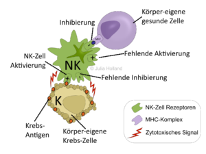 Gegenüberstellung der Aktivierung und Inhibierung einer NK-Zelle. Eine Tumor-Antigen aktiviert die NK-Zelle, wobei der fehlende MHC-Komplex der Tumor-Zelle die NK-Zelle nicht gleichzeitig inhibieren kann. Die NK-Zelle wird aktiviert und leitet den Zelltod der Tumor-Zelle ein. Der MHC-Komplex einer gesunden Körperzelle hingegen inhibiert die NK-Zelle und eine fehlende Aktivierung sorgt dafür, dass die gesunde Körperzelle in Ruhe gelassen wird.