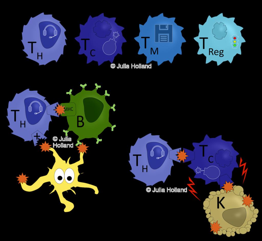 Die vier verschiedenen T-Zell-Typen sind in verschiedenen Blautönen dargestellt. Die T-Helfer-Zelle (TH), die Cytotoxische-T-Zelle (TC), die T-Gedächtnis-Zelle (TM) und die Regulatorische-T-Zelle (TReg). Darunter ist die Aktivierung einer TH und B-Zelle (grün) durch einen Antigen-präsentierenden DC gezeigt. Da die TH und die B-Zelle dasselbe Antigen (roter Stern) mit ihrem TCR und BCR binden können, aktiviert die TH darauffolgend die B-Zelle vollständig. Im zweiten Scenario bindet eine TC mit ihrem TCR ein Tumor-Antigen (roter Stern), welches von dem MHC-Komplex einer Tumor-Zelle präsentiert wird. Die TC leitet daraufhin den Zelltod (rote Blitze) der Tumor-Zelle ein. Die TC präsentiert der TH dieses Tumor-Antigen und wird im Gegenzug vollständig aktiviert. Nun kann die TC im Gewebe weiter wandern und weitere Tumor-Zellen suchen und töten.
