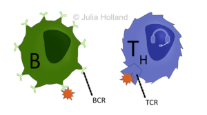 T-Zell-Rezeptor und B-Zell-Rezeptor mit gebundenem Antigen