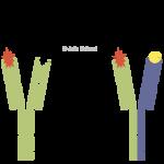 Bispezifische Antikörper